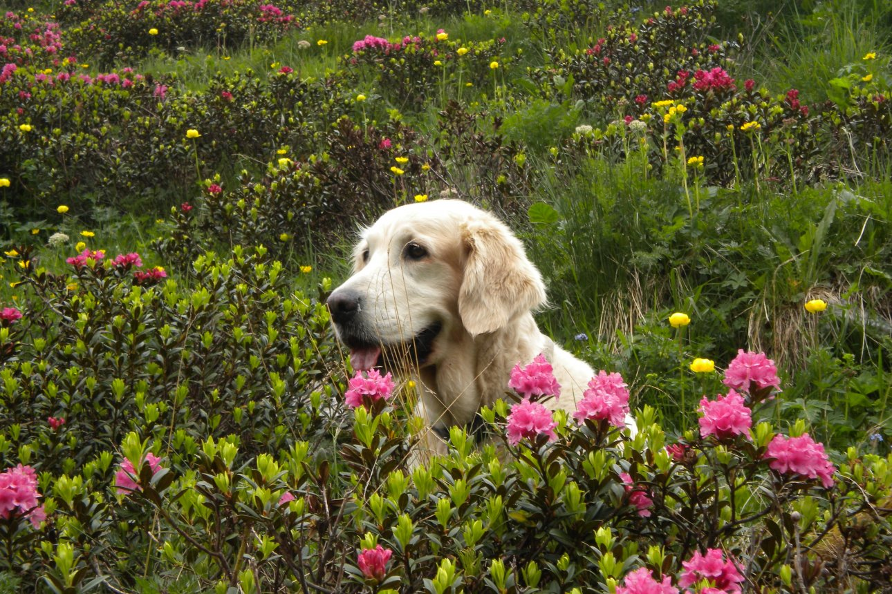 Dog with Alpine roses in Alpbach